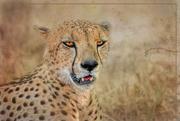 29th Oct 2020 - Cheetah