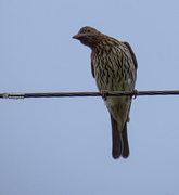 28th Oct 2020 - and the female Fig Bird
