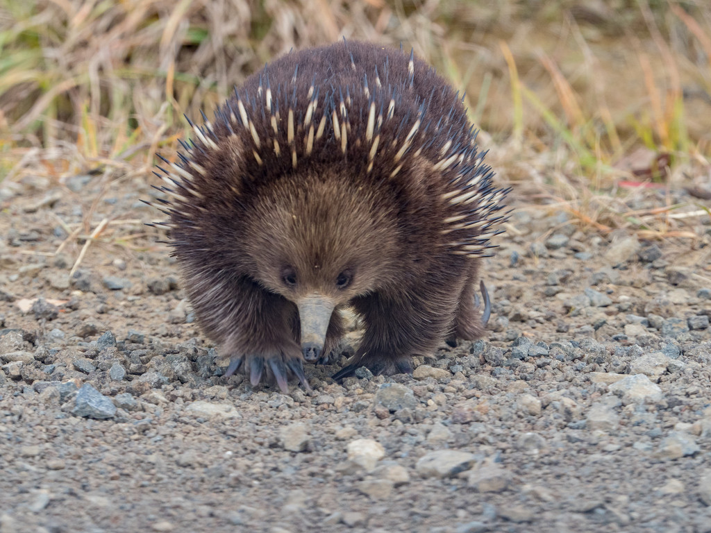 Echidna on the move by gosia