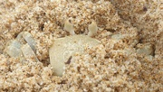 22nd Oct 2020 - Ghost crab