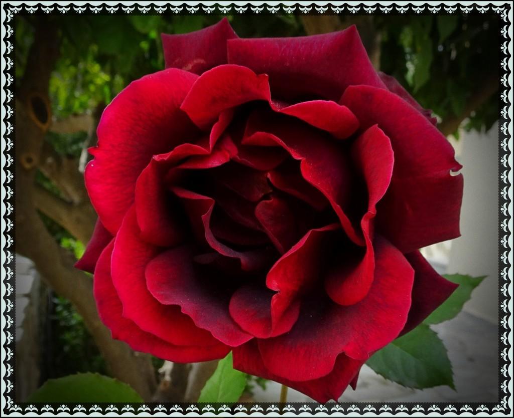 For Carole by carolmw