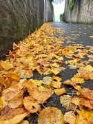 28th Oct 2020 - Golden leaves.