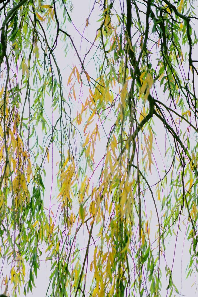 Willow autumn by moonbi