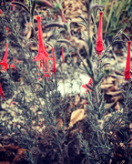 29th Oct 2020 - California Fuchsia