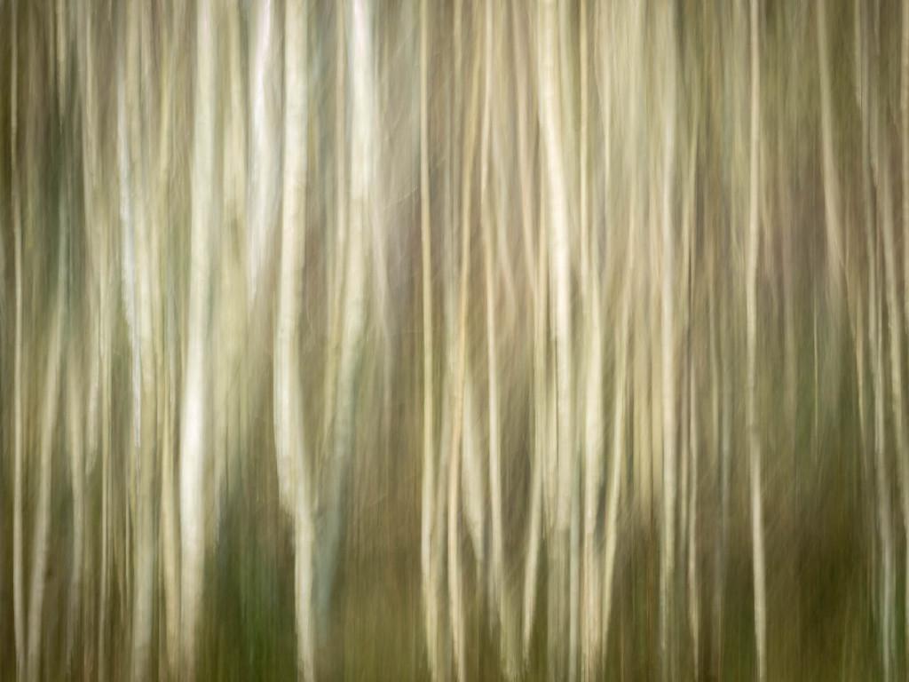 Birch grove by haskar