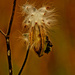 golden milkweed