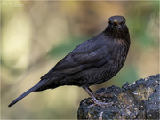 29th Oct 2020 - Male Blackbird