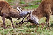 29th Oct 2020 - Rutting Males...