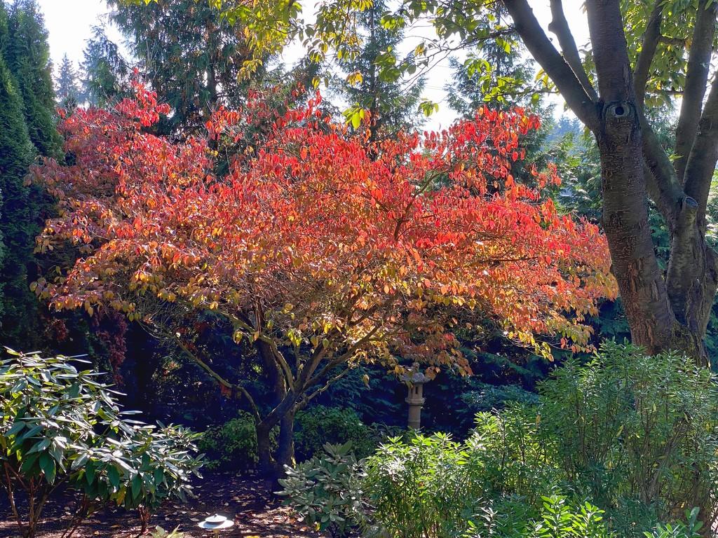 Dogwood autumn color by littledebbie