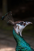 29th Oct 2020 - Peacock