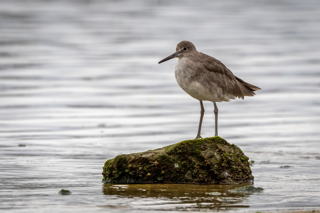 Willet by nicoleweg