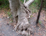 29th Oct 2020 - Gnarled tree trunk