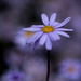 Blue felicia by maureenpp