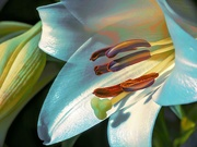 30th Oct 2020 - My favourite Lily up close