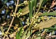 30th Oct 2020 - Olive blossoms