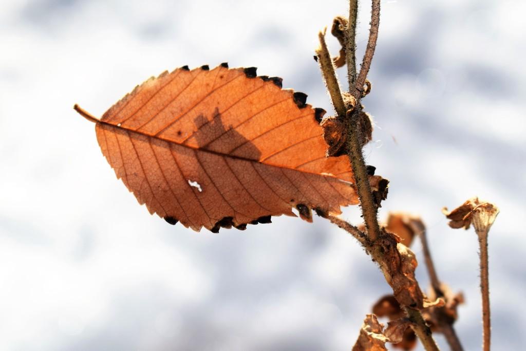 Backlit leaf by sandlily
