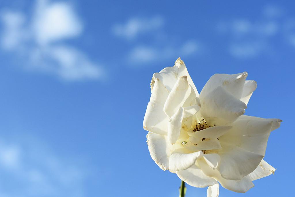 Minimal white rose by homeschoolmom