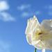 Minimal white rose