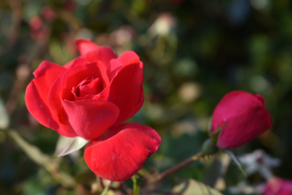 Red roses by homeschoolmom