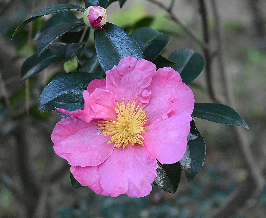 Pink camellia and bud by homeschoolmom