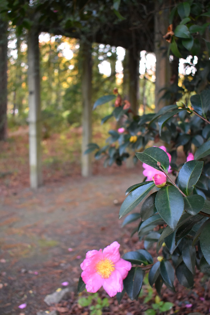 Camellias at the park by homeschoolmom