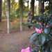 Camellias at the park