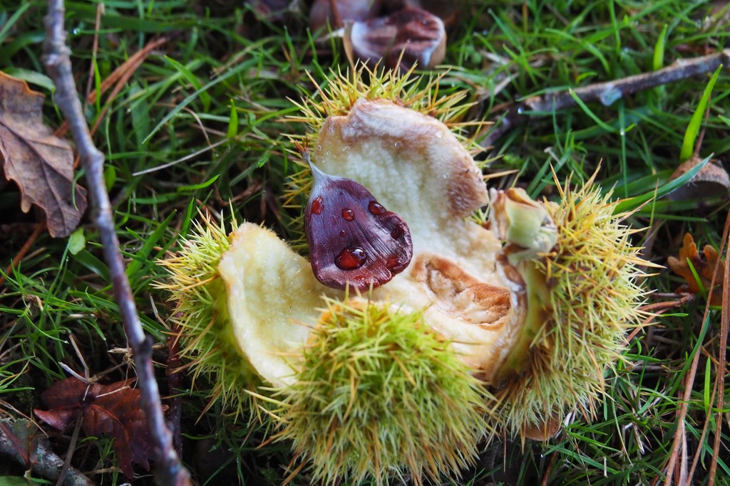 Sweet Chestnut  by s4sayer