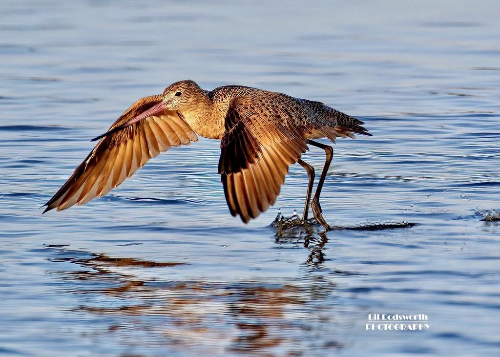 Morning flight of a Marbled Godwit by photographycrazy