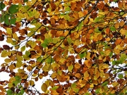 30th Oct 2020 - Beech leaves