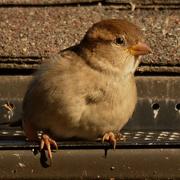 30th Oct 2020 - house sparrow