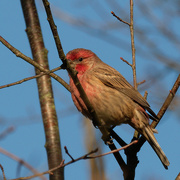 30th Oct 2020 - house finch