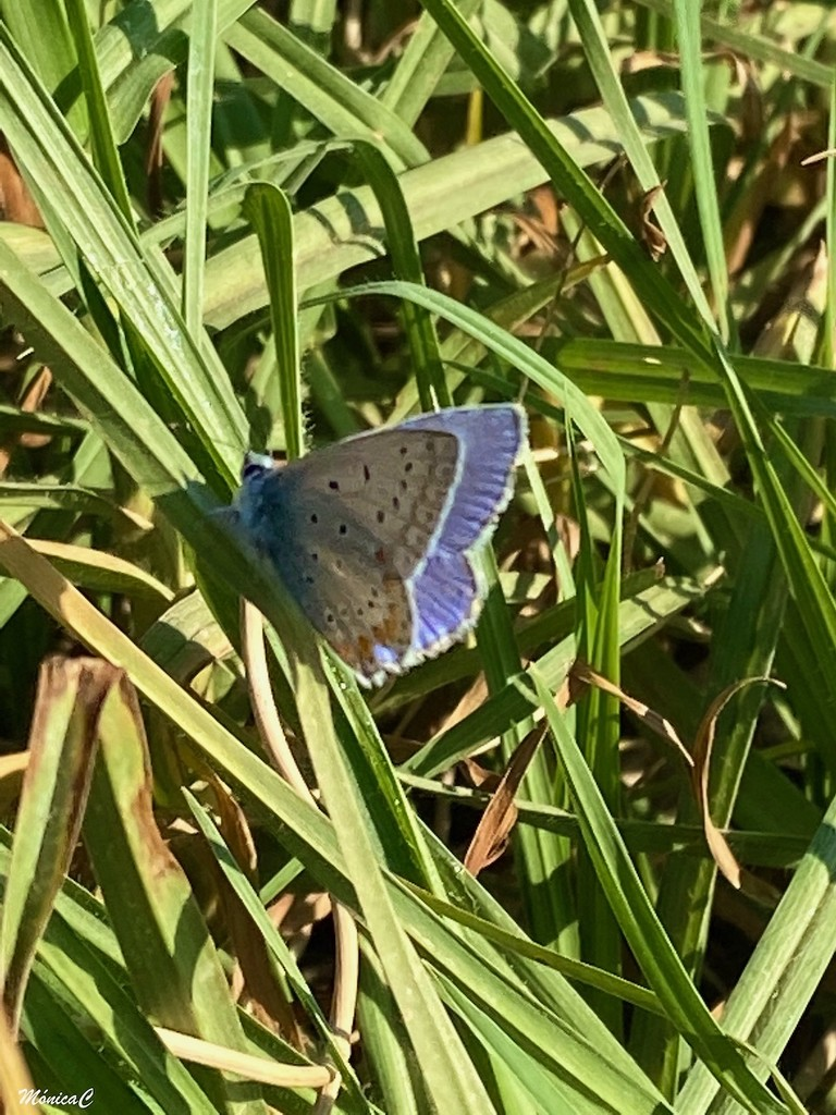 Little blue butterfly by monicac