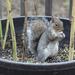Squirrel In a Barrel