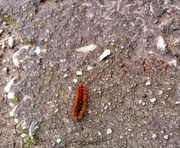 30th Oct 2020 - Ruby Tiger Caterpillar