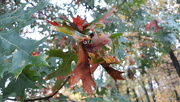 29th Oct 2020 - Fall Leaves
