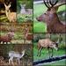 Bradgate Deer
