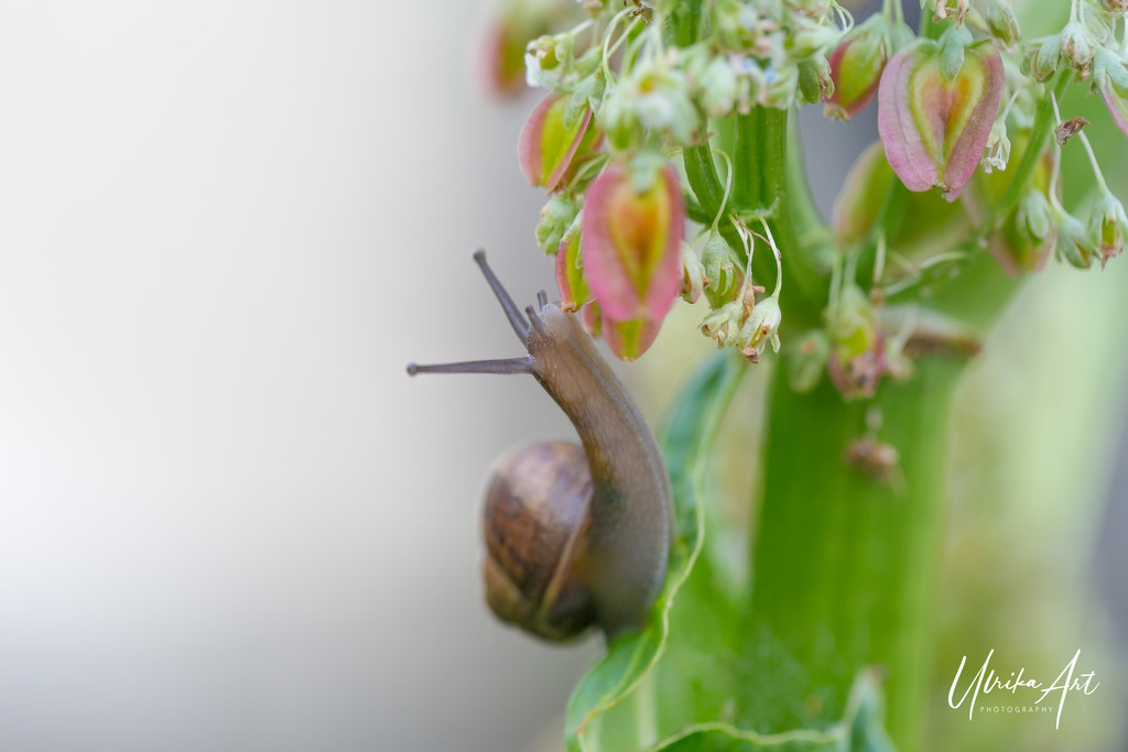 snails pace by ulla