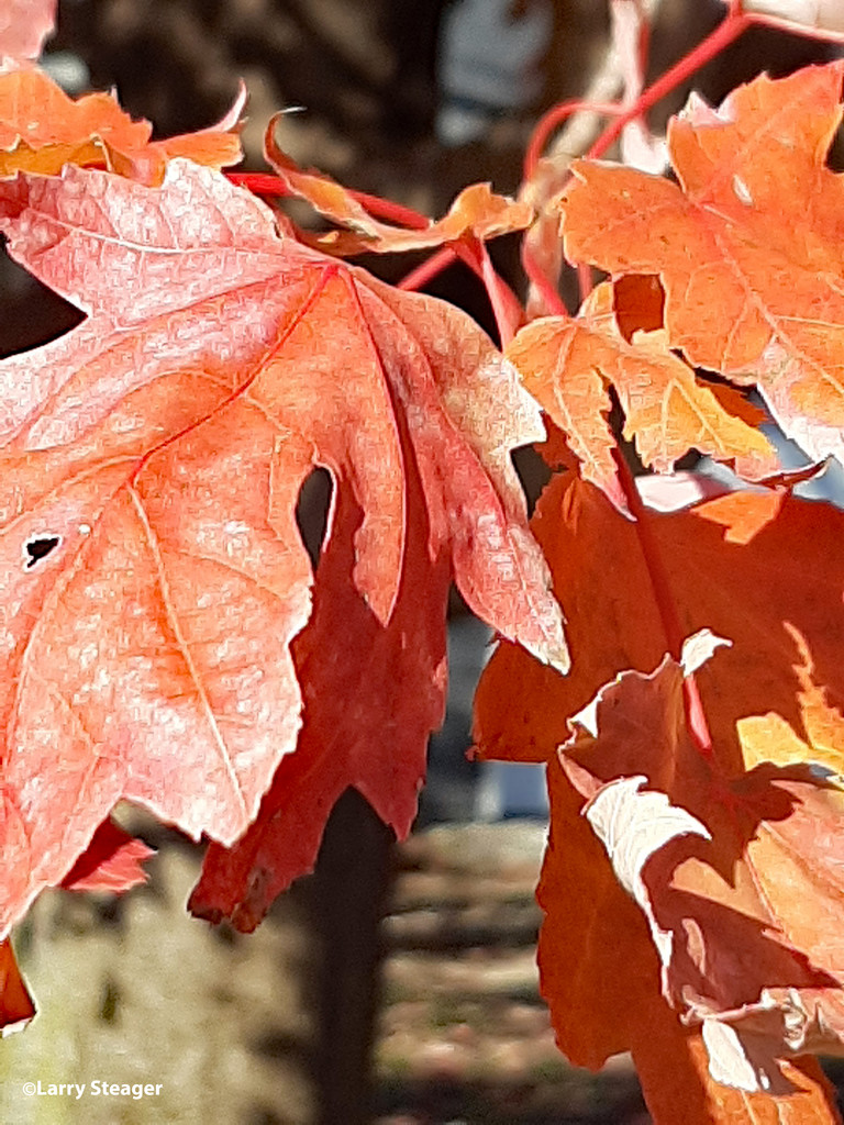 Red Oak leaves by larrysphotos