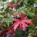 Painted maple leaves...