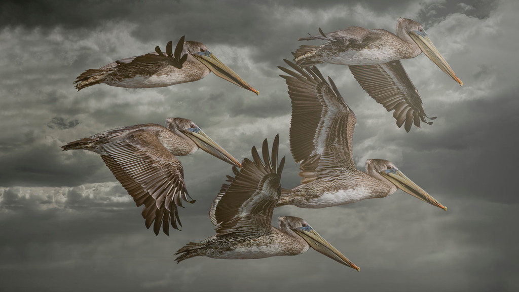 Pelicans All Over by mikegifford