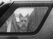31st Oct 2020 - A dog in a car