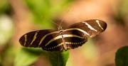 30th Oct 2020 - Zebra Longwing Butterfly!