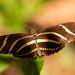 Zebra Longwing Butterfly!