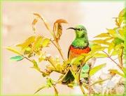 31st Oct 2020 - Double collared sunbird