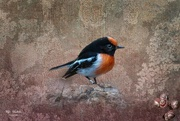 31st Oct 2020 - Red capped robin