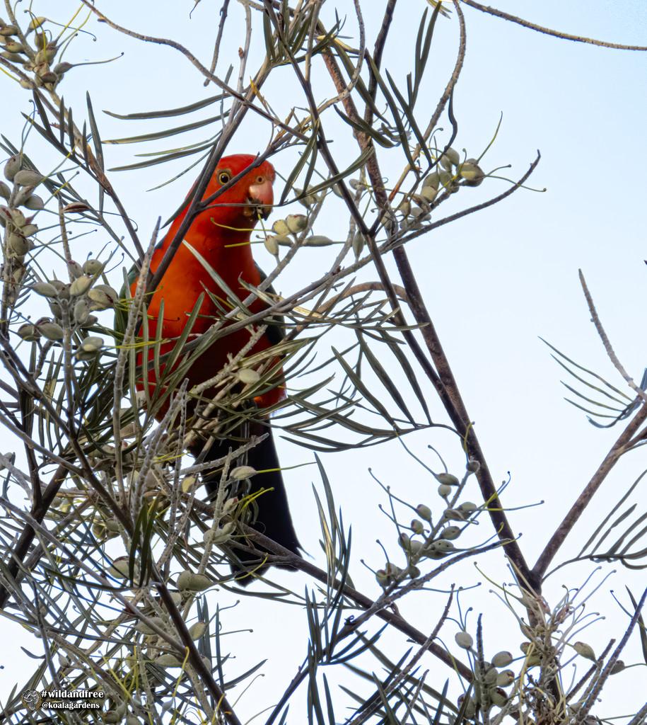 King Parrot by koalagardens