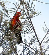 30th Oct 2020 - King Parrot