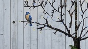 29th Oct 2020 - Pretty Fence Painting