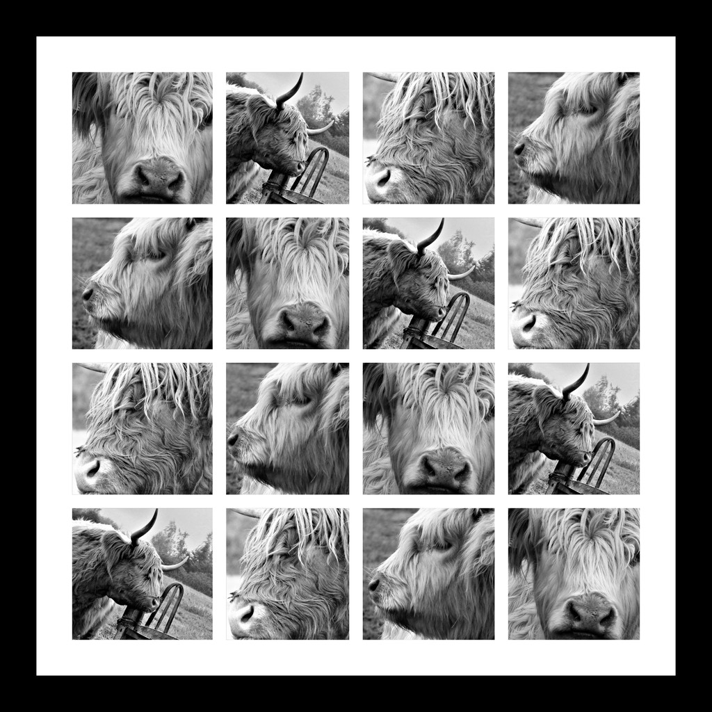 'Cow's That!' Collage by ajisaac