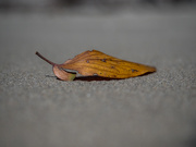 30th Oct 2020 - Just a leaf on the beach